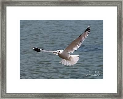 Gull In Flight Framed Print