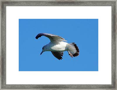 Gull In Flight Framed Print by Don Youngclaus