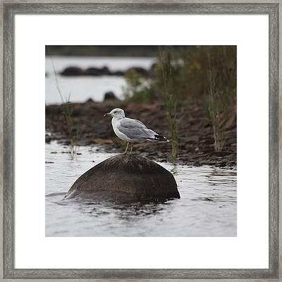 Gull On A Rock Framed Print