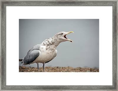Gull Singer Framed Print by Karol Livote