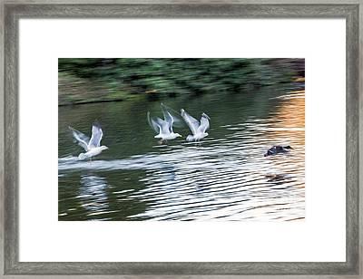 Gulls Chase Mallard Framed Print by Kate Brown