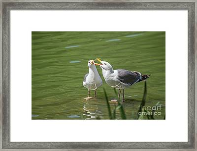 Gulls Courting Framed Print by Kate Brown