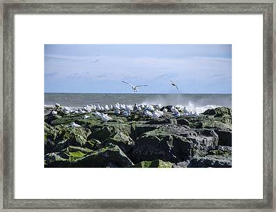 Gulls On Rock Jetty Framed Print