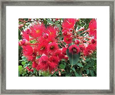 Gum Nut Tree Blossom Framed Print