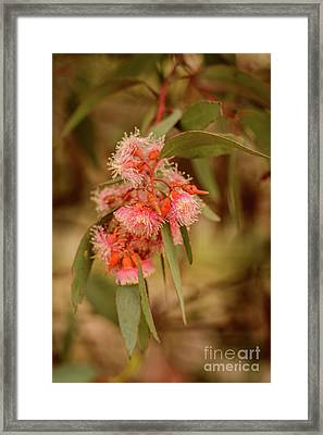 Framed Print featuring the photograph Gum Nuts 2 by Werner Padarin