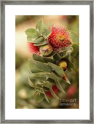 Gum Nuts Framed Print