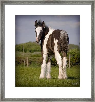 Gypsy Horse Foal Framed Print by Elizabeth Sescilla
