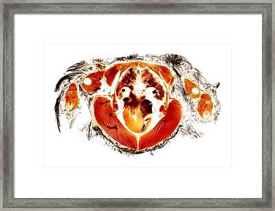 Gyr Falcon Anatomy Cross Section  Framed Print by Christoph Von Horst