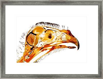 Gyr Falcon Anatomy Falconry Plastinate Framed Print by Christoph Von Horst