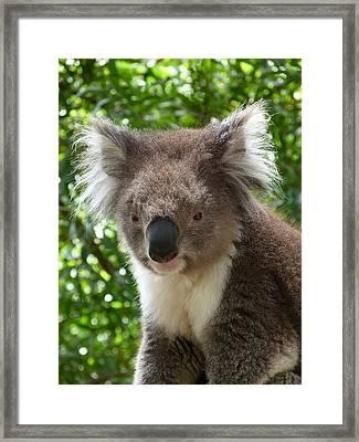 Handsome Male Victorian Koala Framed Print by Margaret Saheed
