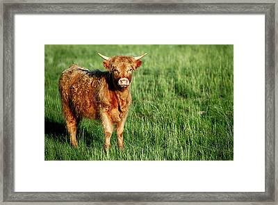 Hairy Highlander Framed Print by Todd Klassy
