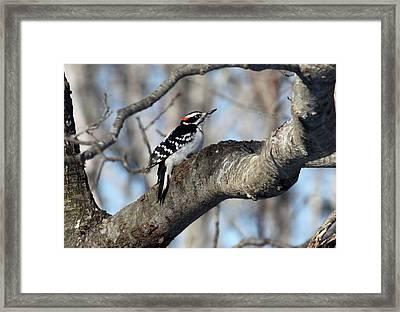Hairy Woodpecker Framed Print by Bonnie Brann