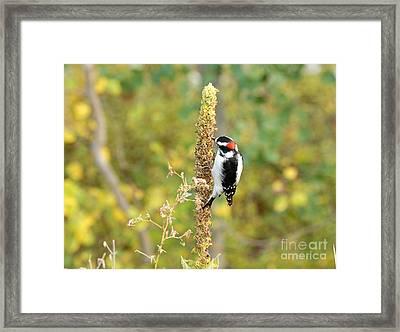 Hairy Woodpecker Framed Print by Dennis Hammer