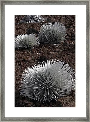 Haleakala Silverswords Framed Print
