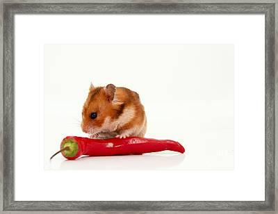 Hamster Eating A Red Hot Pepper Framed Print by Yedidya yos mizrachi