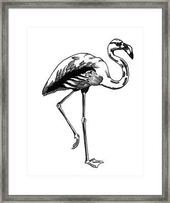 Hand Drawn Line Drawing Of Flamingo Bird Framed Print by Matthew Gibson