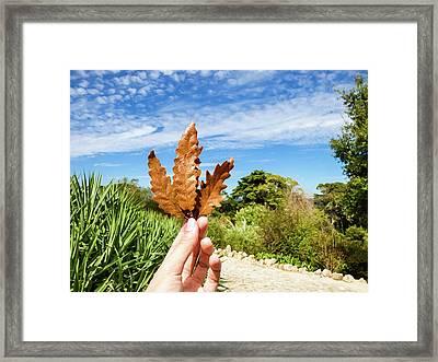 Hand Holding A Beautiful Oak Leaf Framed Print