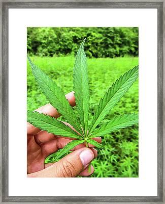 Hand Holding A Hemp Leaf Framed Print