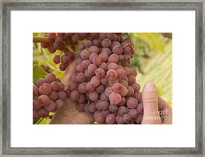Hands Hold Autumn Blaze Grapes Framed Print by Inga Spence