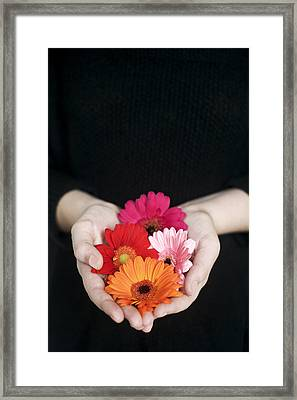 Hands Holding Colorful Gerbera Daisies  Framed Print