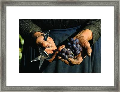 Hands Holding Muscatel Grapes Framed Print by James P. Blair