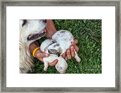 Hands Holding One-week-old Great Framed Print by Inga Spence