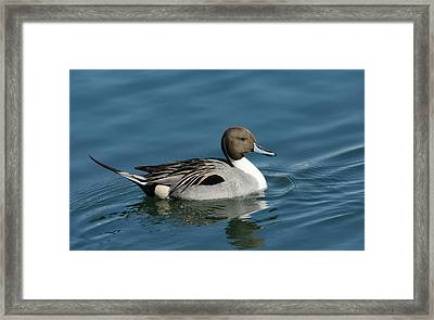 Framed Print featuring the photograph Handsome Drake by Fraida Gutovich