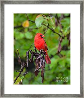 Handsome Fella - Male Cardinal Framed Print by Kerri Farley
