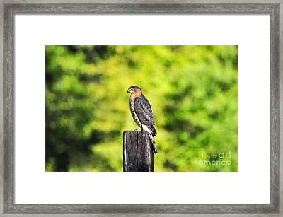Framed Print featuring the photograph Handsome Hawk by Al Powell Photography USA