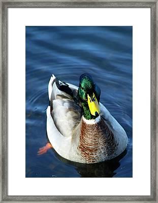Handsome Male Mallard Framed Print