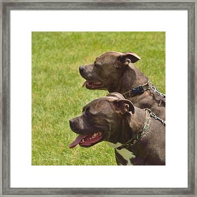 Handsome Pit Bulls Framed Print