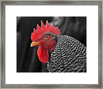 Handsome Plymouth Rock Rooster Framed Print
