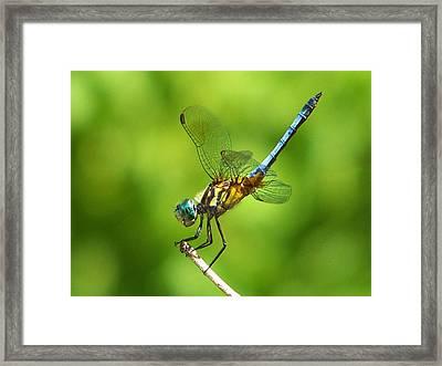 Handstand Dragonfly Framed Print by Karen Scovill