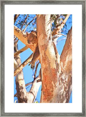 Framed Print featuring the photograph Hanging Around, Yanchep National Park by Dave Catley