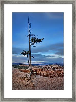 Hanging On - Limber Pine - Bryce Framed Print by Nikolyn McDonald