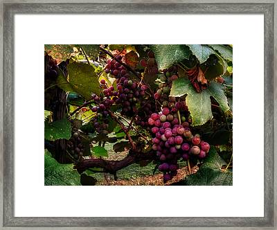 Hanging Out In The Vineyard Framed Print