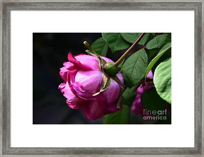 Hanging Rose Framed Print