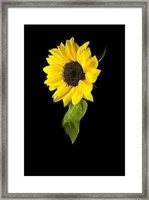 Hanging Sunflower Framed Print by Elsa Marie Santoro