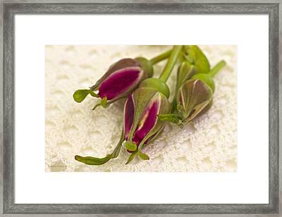 Hansa Rose Buds Framed Print by Sandra Foster