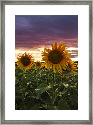 Happiness Is A Field Of Sunflowers Framed Print
