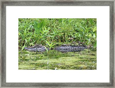 Happy Baby Gators With Mom Framed Print