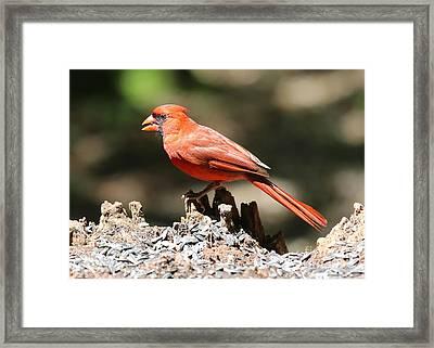 Happy Cardinal Framed Print by Carol Groenen