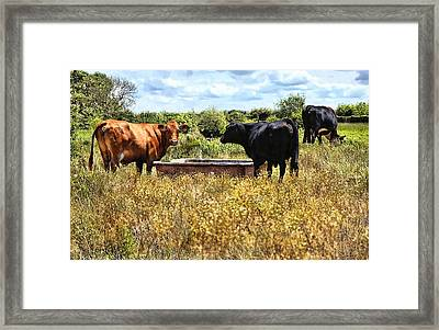 Happy Cows Come From California ... Framed Print