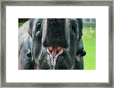 Happy Elephant With Open Mouth Framed Print by Pati Photography