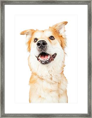 Happy Golden Retriever Crossbreed Dog Looking Up Framed Print by Susan Schmitz