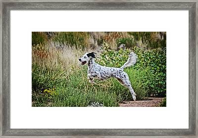 Happy Huntress, English Setter Framed Print by Flying Z Photography By Zayne Diamond
