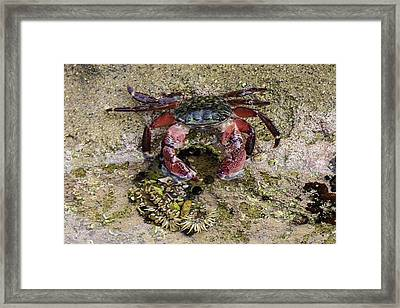 Happy Little Crab Framed Print