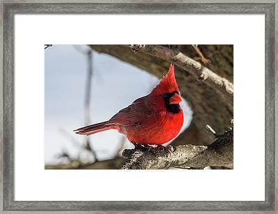 Happy Mister Cardinal Framed Print