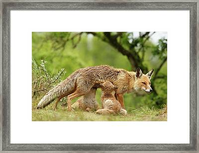 Happy Moments - Mother Fox Suckling Her Fox Kits Framed Print