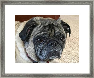 Happy Pug Framed Print